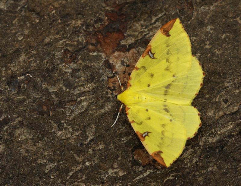Hagendoornvlinder